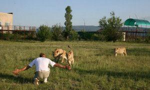 В парке львов Тайган появились новые львы