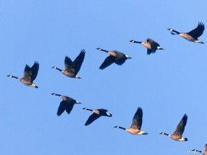 Полет птиц в клине