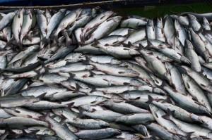 экспорт рыбы севастополем