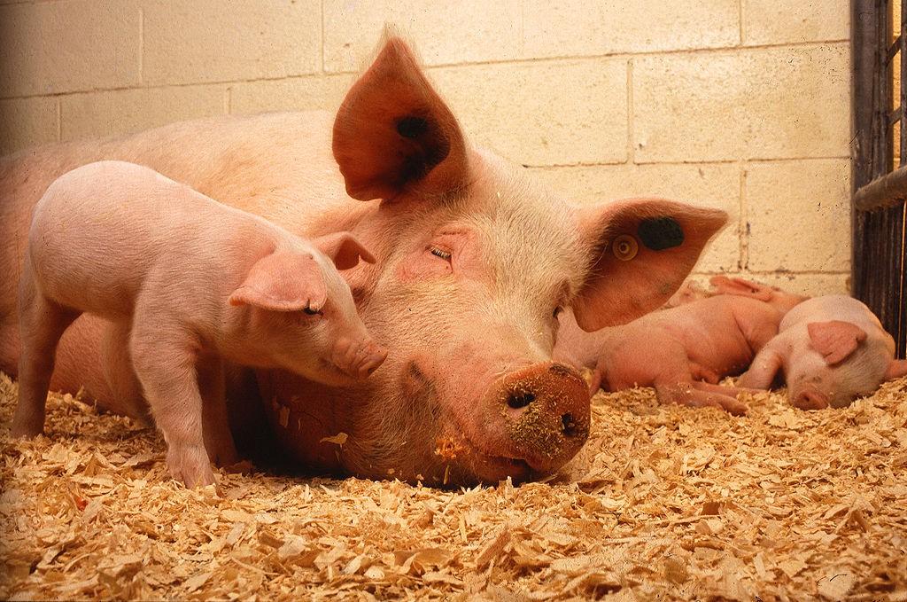 В первой зоне карантина чумы свиней свинину переработают на колбасы