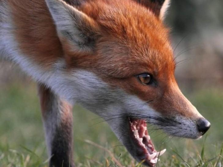 В Севастопольских лесах проводиться вакцинация диких животных от бешенства