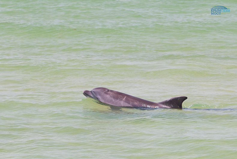 Строительство моста в Крым увеличило численность дельфинов в Керченском проливе в 10 раз