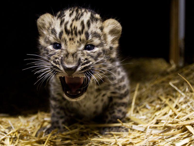 В крымском зоопарке умер малыш амурского леопарда