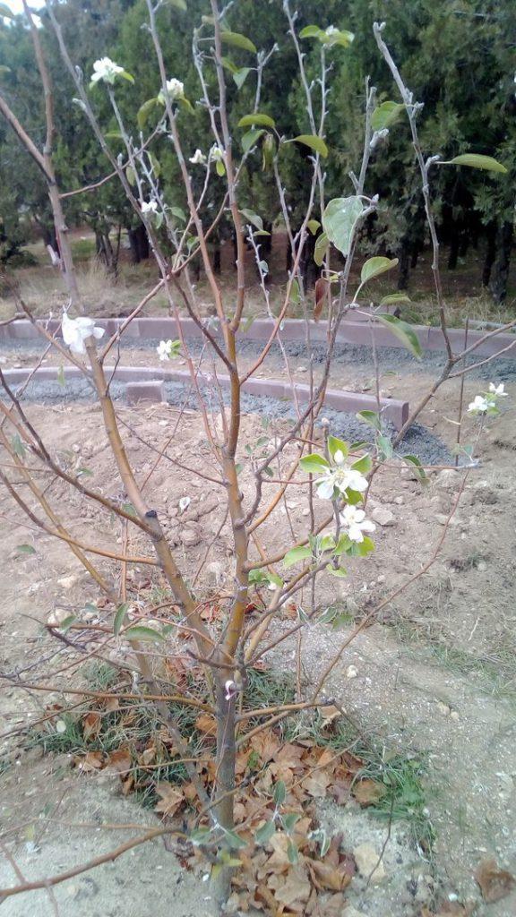 В холодном Севастополе продолжают цвести яблони (ФОТОФАКТ)