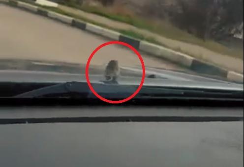 #Вероникадержись: по Севастополю ездит автомобиль с мышей-пассажиром на капоте (ВИДЕО)