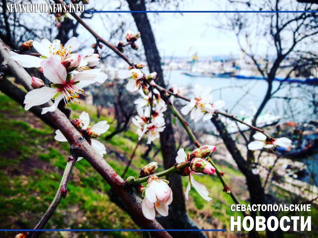 Зима по-крымски: в феврале в Севастополе цветет миндаль (ФОТО)