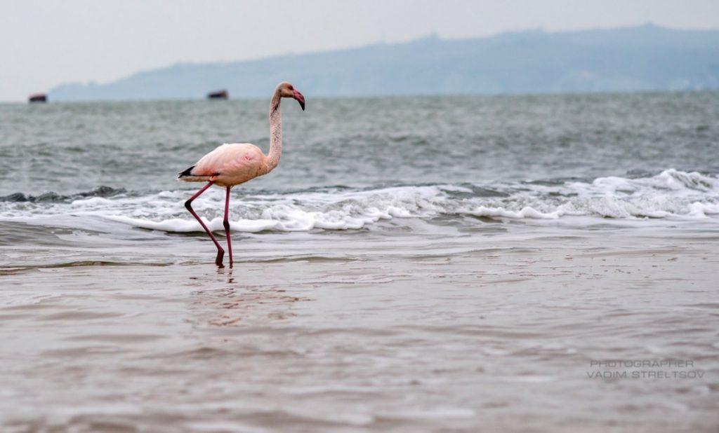 "В Феодосии на пляже ""поселился"" розовый фламинго (ФОТО)"